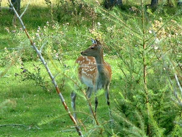 エゾシカ(鹿)の写真画像1 その1