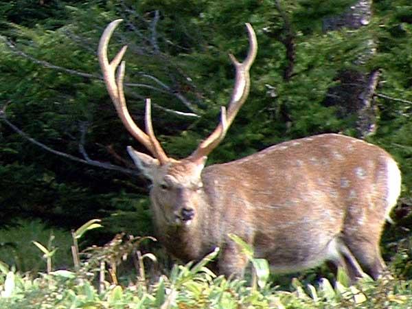 エゾシカ(鹿)の写真画像1 その6