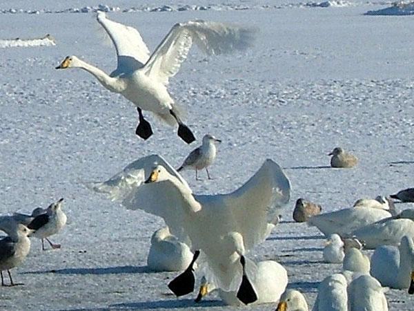 オオハクチョウ(大白鳥)の写真画像1 その9