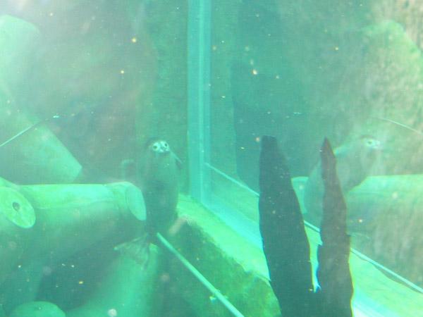 旭山動物園 アザラシの写真画像 その1
