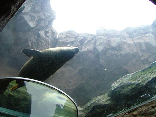 旭山動物園 アザラシの写真画像 その3