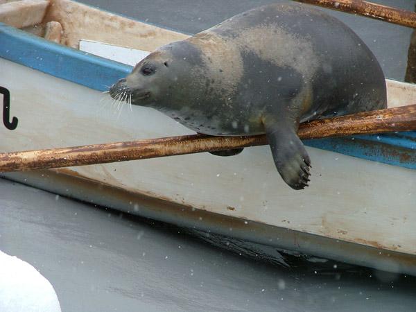 旭山動物園 アザラシの写真画像 その5