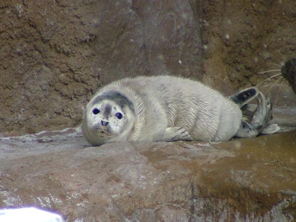 旭山動物園 アザラシの写真画像 その7