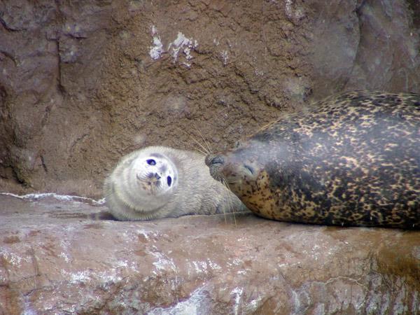 旭山動物園 アザラシの写真画像 その9