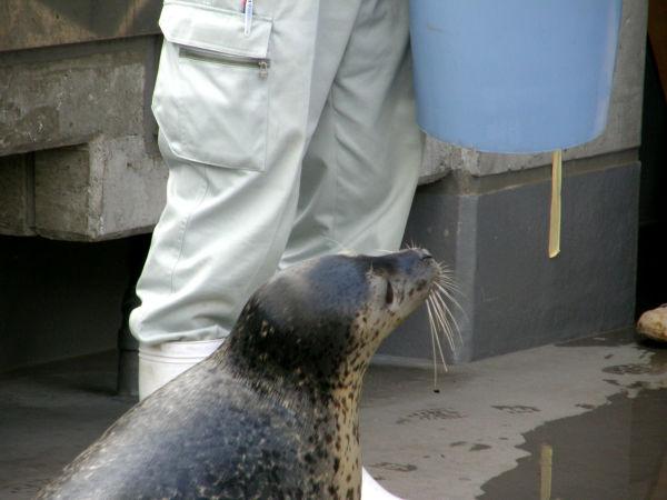 旭山動物園 アザラシの写真画像 その10