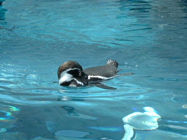旭山動物園ペンギン1 フンボルトペンギン