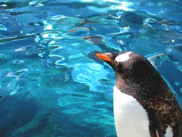 旭山動物園ペンギン3 ジェンツーペンギン