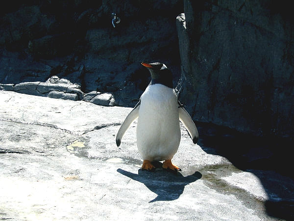 旭山動物園ペンギン4 ジェンツーペンギン