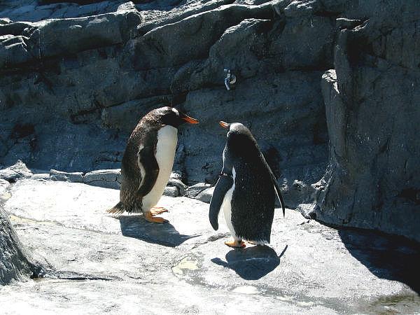 旭山動物園ペンギン5 ジェンツーペンギン