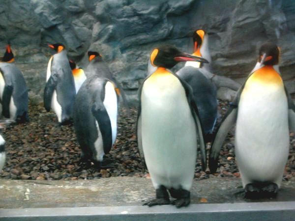 旭山動物園ペンギン6 キングペンギン