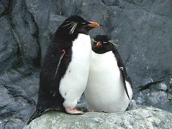 旭山動物園ペンギン9 イワトビペンギン
