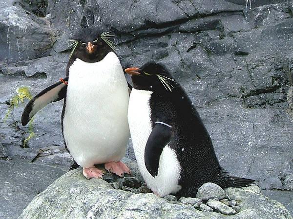旭山動物園ペンギン10 イワトビペンギン