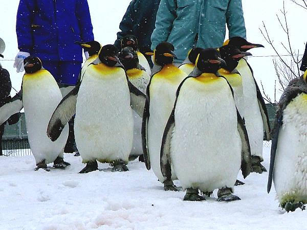 旭山動物園ペンギン12 キングペンギン