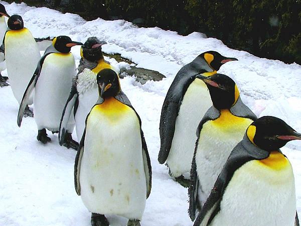 旭山動物園ペンギン13 キングペンギン
