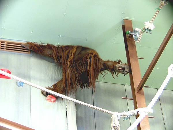 旭山動物園 オランウータン写真画像1