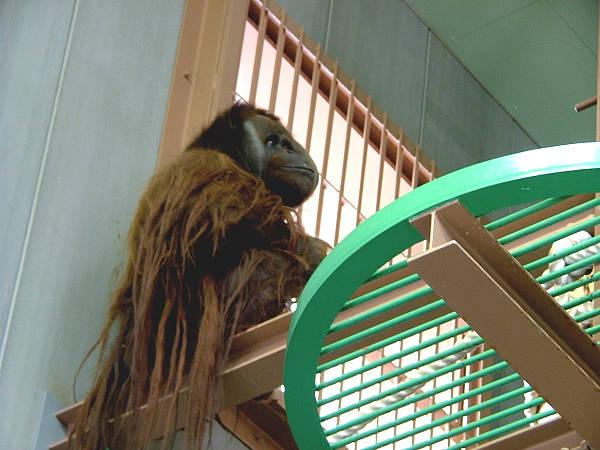 旭山動物園 オランウータン写真画像2
