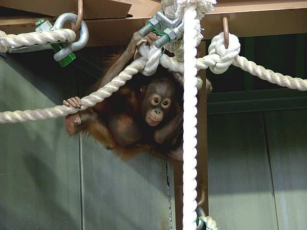 旭山動物園 オランウータン写真画像3