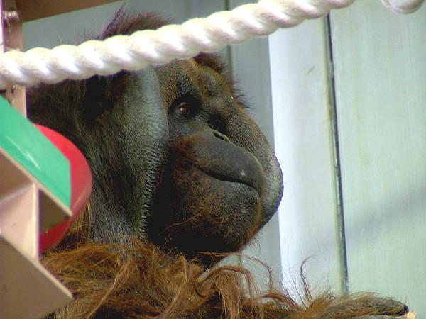 旭山動物園 オランウータン写真画像4