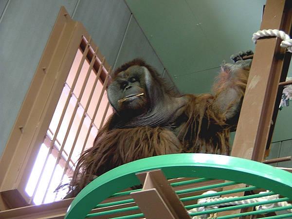 旭山動物園 オランウータン写真画像5