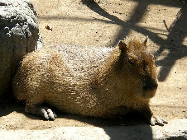 旭山動物園 カピバラの写真画像1