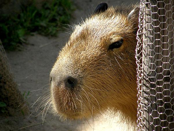 旭山動物園 カピバラの写真画像3