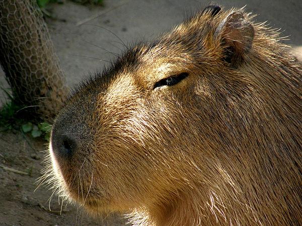 旭山動物園 カピバラの写真画像5