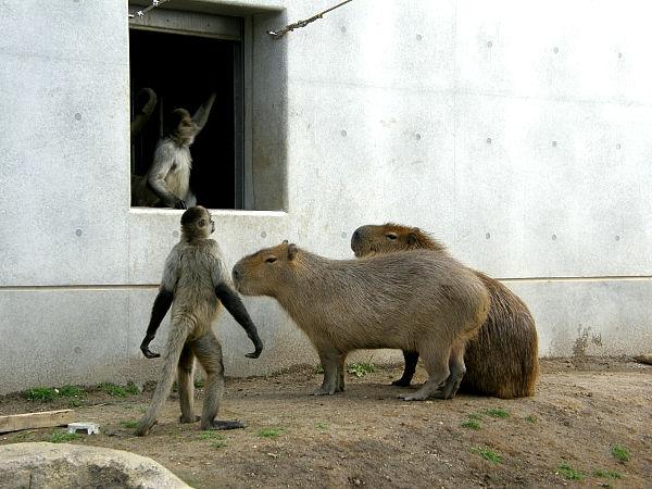旭山動物園 カピバラの写真画像7