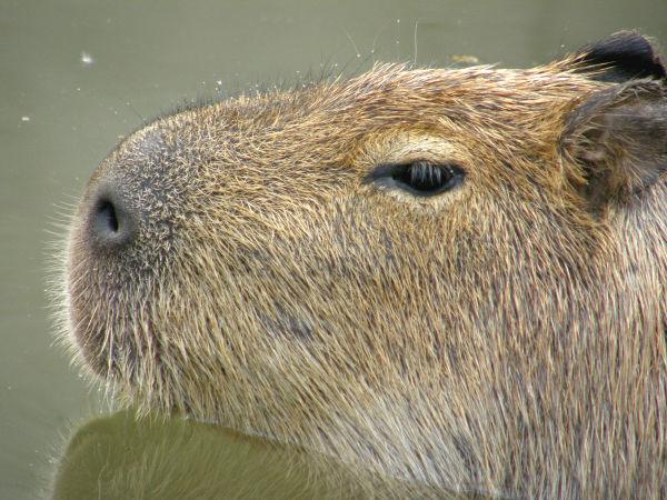 旭山動物園 カピバラの写真画像9
