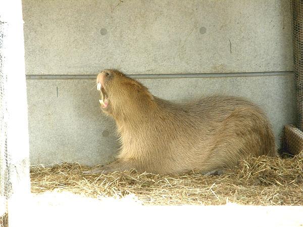 旭山動物園 カピバラの写真画像10