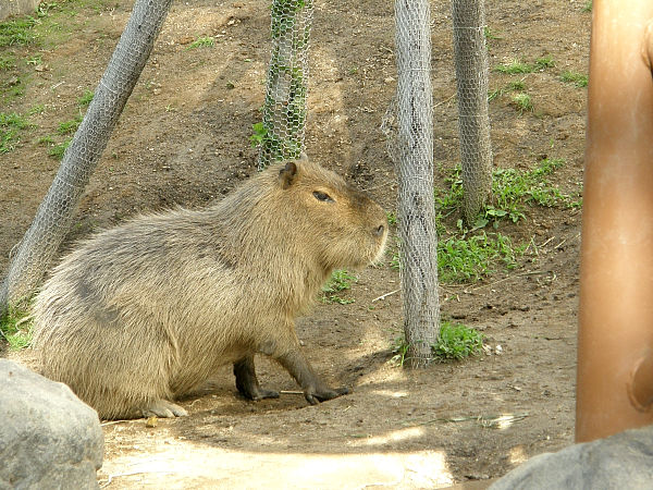 旭山動物園 カピバラの写真画像11