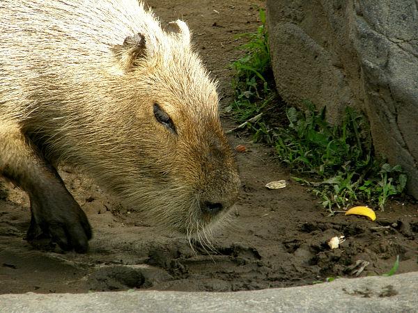 旭山動物園 カピバラの写真画像12