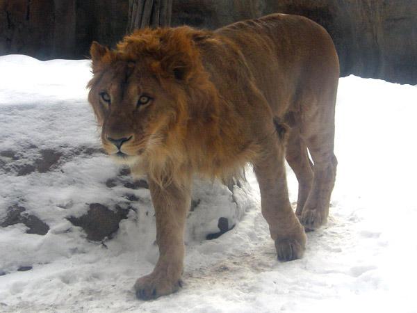 旭山動物園 ライオンの写真画像1