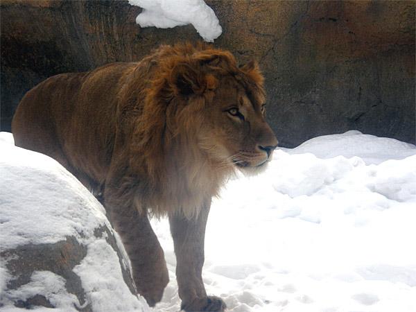 旭山動物園 ライオンの写真画像2