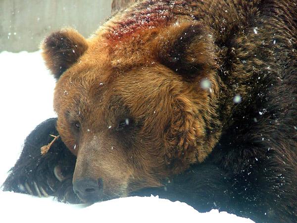 旭山動物園 ヒグマの写真画像1