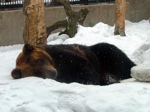旭山動物園 ヒグマの写真画像2