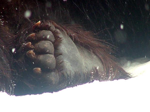 旭山動物園 ヒグマの写真画像3