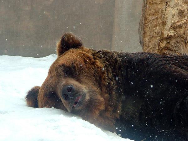 旭山動物園 ヒグマの写真画像4