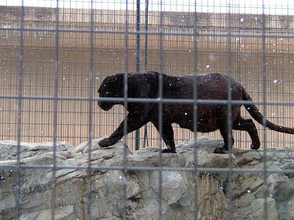 旭山動物園 黒ヒョウの写真画像1