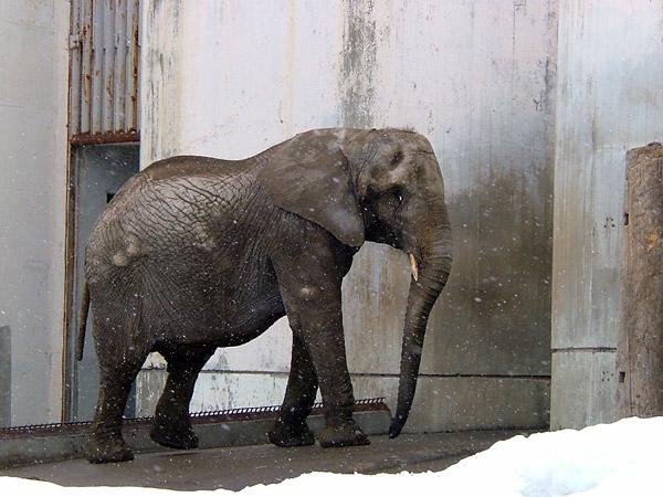 旭山動物園 マルミミゾウの写真画像1