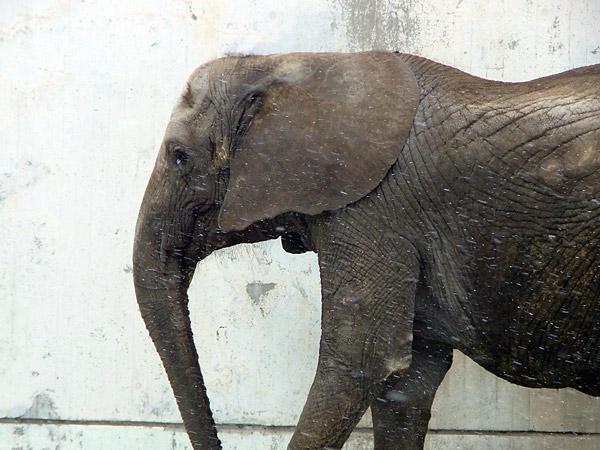 旭山動物園 マルミミゾウの写真画像2