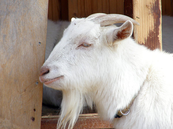 旭山動物園 山羊の写真画像1