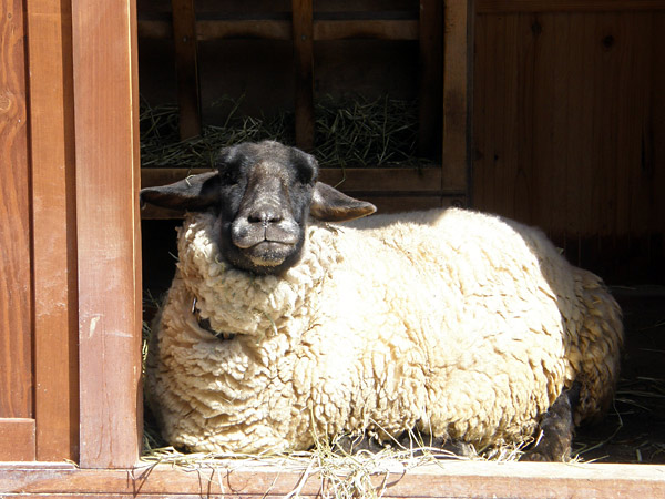 旭山動物園 羊の写真画像1