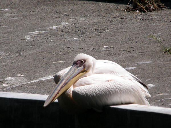 旭山動物園 モモイロペリカンの写真画像1