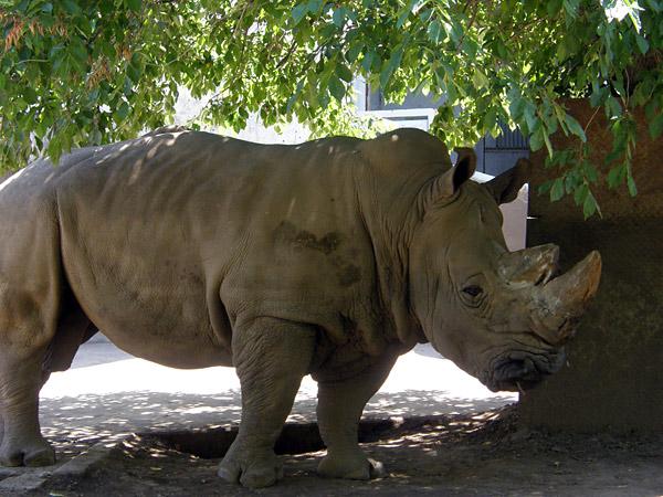旭山動物園 ミナミシロサイの写真画像1