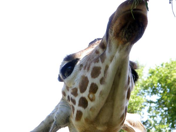 旭山動物園 アミメキリンの写真画像1