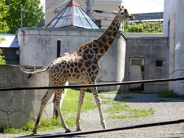 旭山動物園 アミメキリンの写真画像2