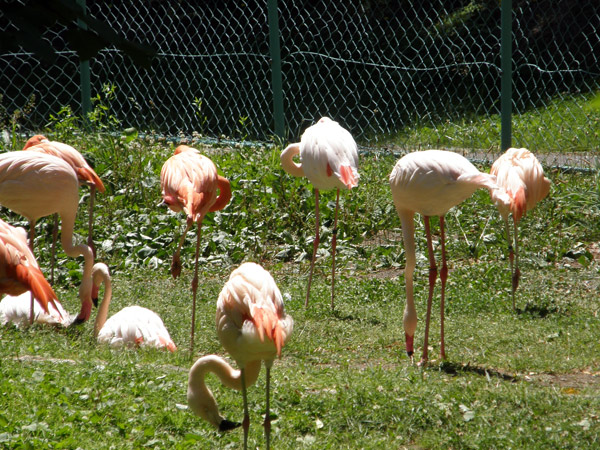 旭山動物園 フラミンゴの写真画像1
