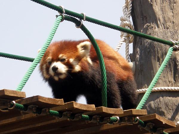 旭山動物園 レッサーパンダの写真画像1