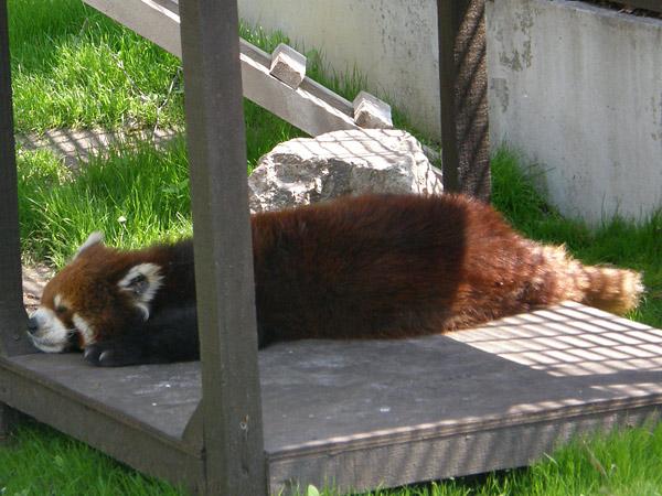 旭山動物園 レッサーパンダの写真画像2