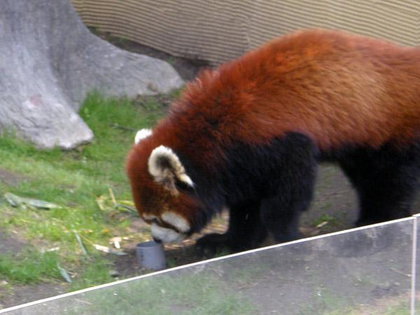 旭山動物園 レッサーパンダの写真画像4